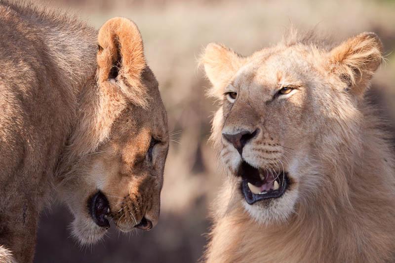 image-lions-lionne-fanfan