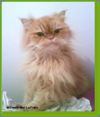 BOSTON un chat qui adore les câlins Ti-boston---oc-02-1848104